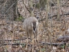 Wild White Tailed Deer